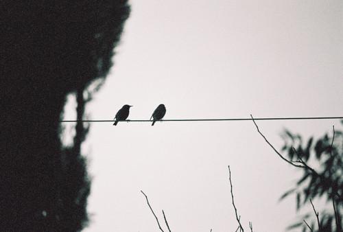 پرنده هاي روي سيم برق